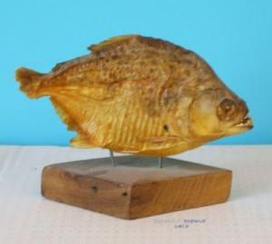 pez disecado
